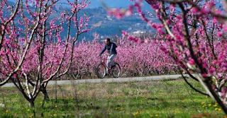 Το ροζ «πέπλο» της Βέροιας με τις ανθισμένες ροδακινιές