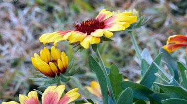 Gaillardia aristata: compuesta y con abejas