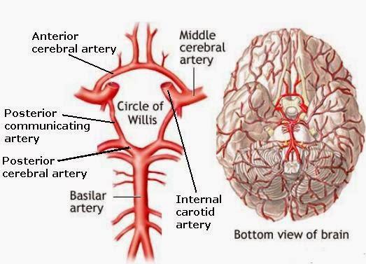 Bio Geo Nerd Blood Brain Barrier