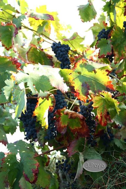 Uvas de la Ruta del camino del agua, Mogarraz