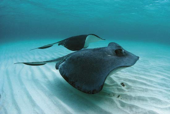 southern stingray life of sea