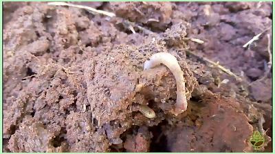 دودة الارض - تهوية التربة - الدودة الحمراء