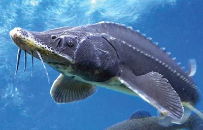 Acipenser Salah Satu Ikan Air Tawar Purba