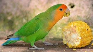 5 Makanan Burung Love Bird dan Khasiatnya