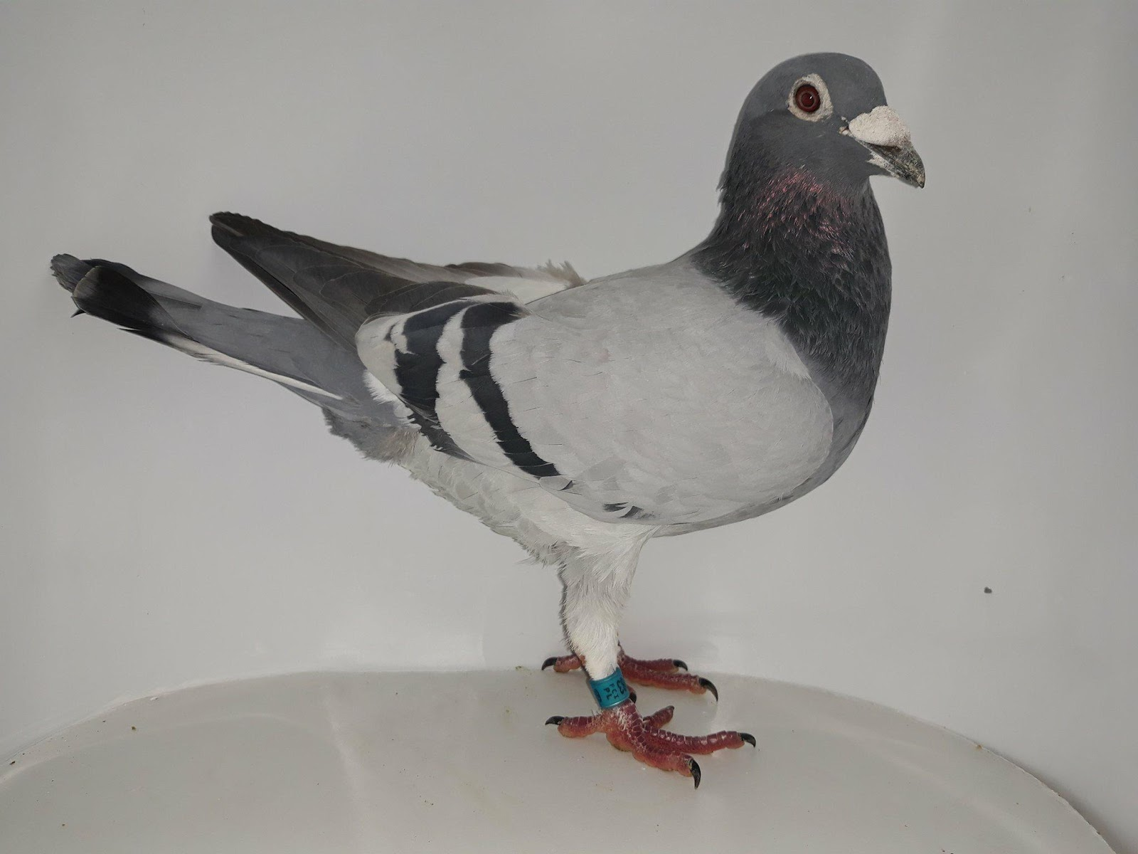 Gołębie Szczepaniak Kaczmarek Nasze Gołębie Rozpłodowe