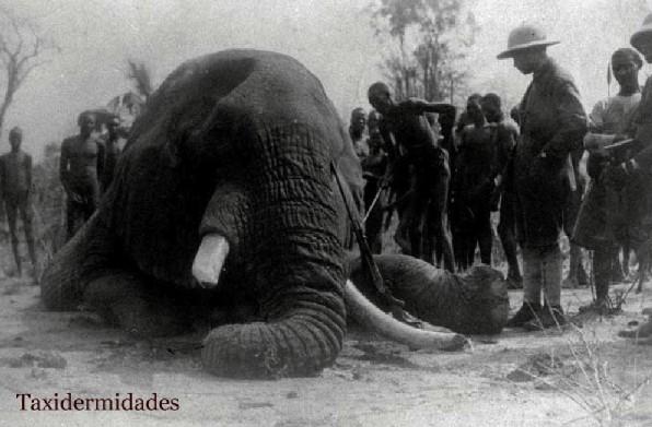 El elefante africano del Museo de Ciencias Naturales de Madrid. | Taxidermidades