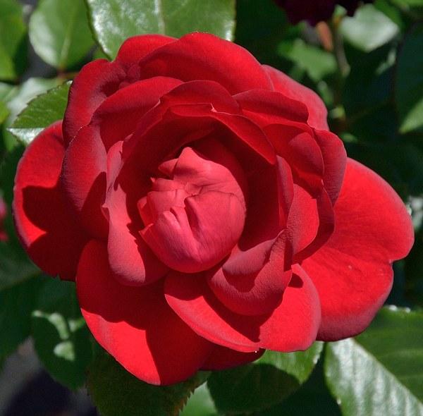 Capricia Renaissance сорт розы фото саженцы купить Минск