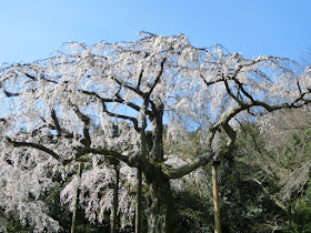長興山紹太寺の枝垂れ桜