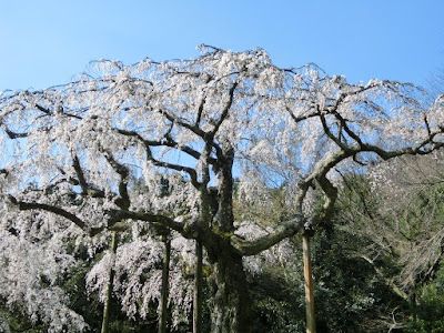 長興山の枝垂れ桜