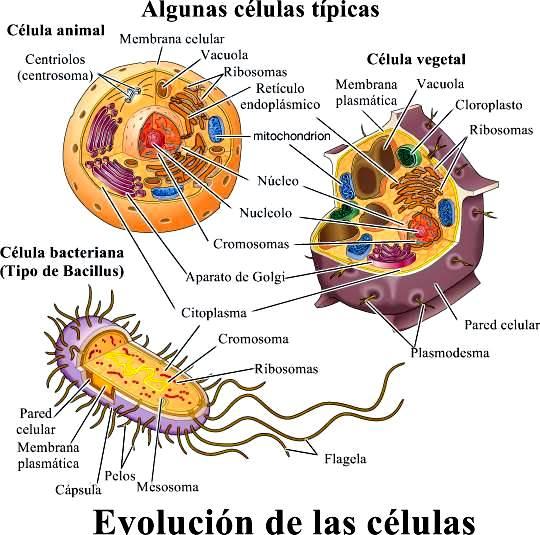 Evolución de las células: células típicas