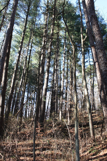 Pines in Hoosier National Forest in French Lick, Indiana