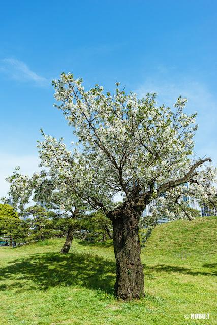 桜花期の浜離宮恩賜庭園