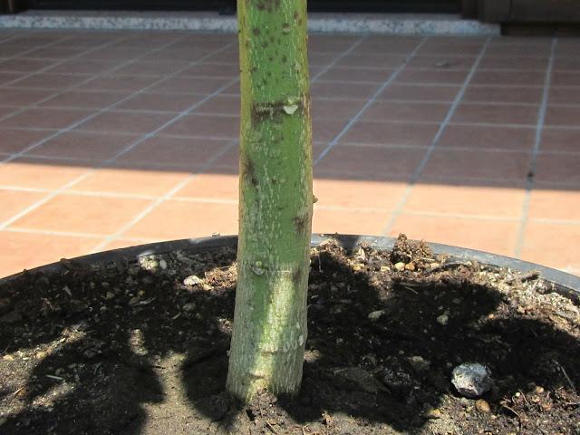 Papaya bark