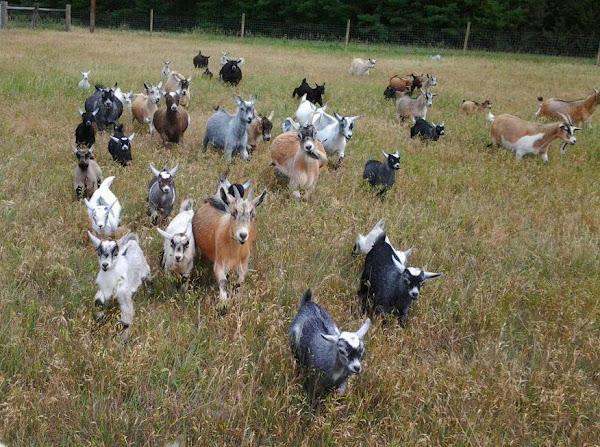 Pygmy Goat Care