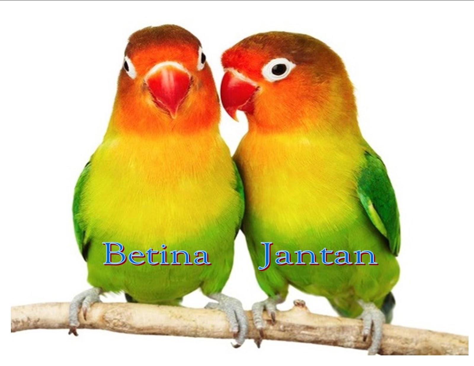 cara akurat membedakan love bird jantan dan betina