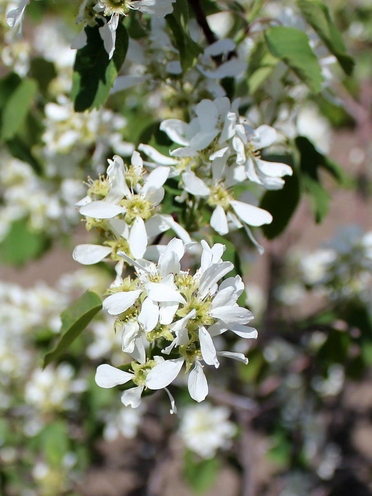 My Mountain Garden Gleanings Fruit Trees In Bloom