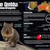 The Happiest Animal in the World: The Quokka