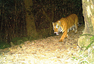 Tiger at Neora Valley National Park