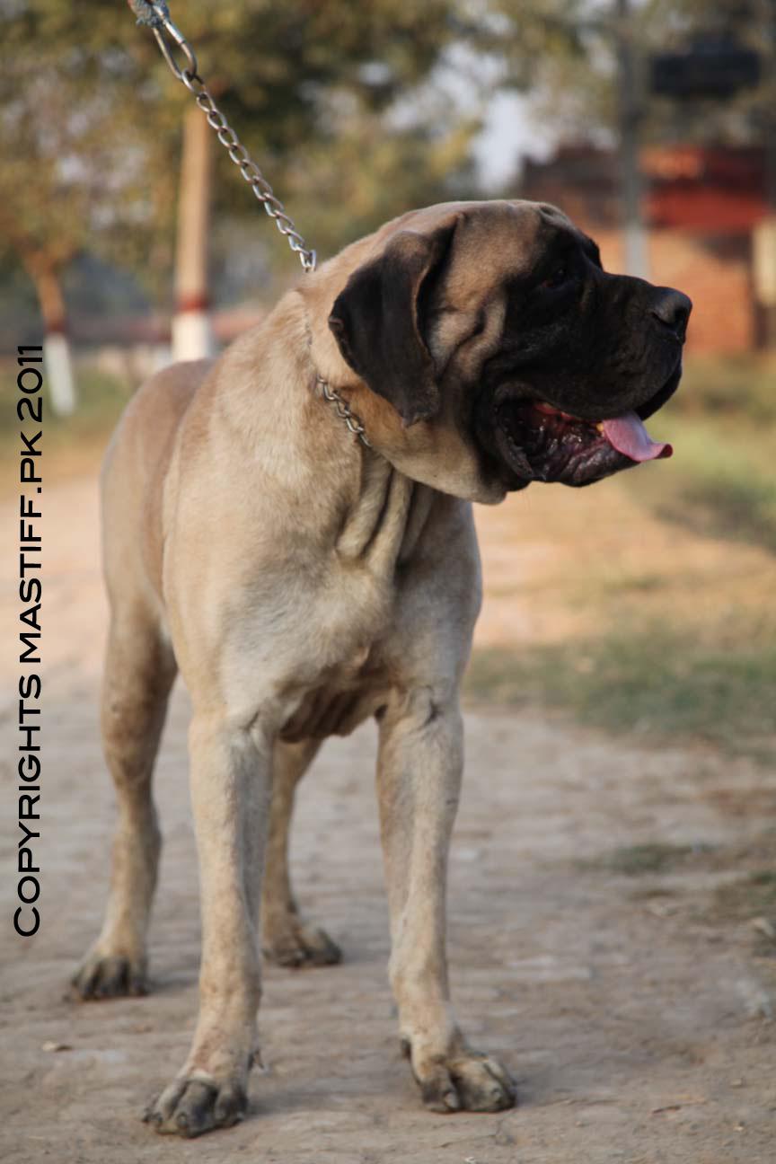 pakistani mastiff - photo #19