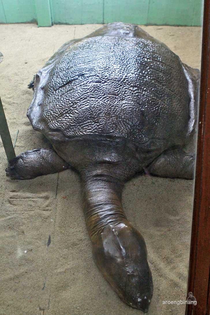 bulus labi-labi museum zoologi bogor