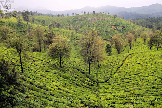 Tea estates of Coonoor