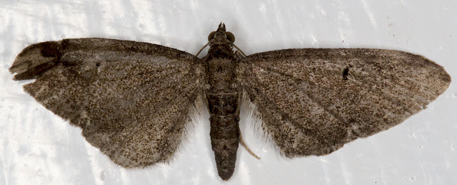 Unidentified melanic pug, Eupithecia species.  Hayes on 5 August 2012.