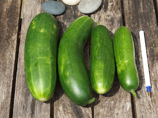 4 cucumbers lined up