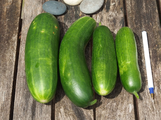 The first of 2018's cucumbers