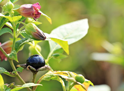 Belladonna, Herbal Plant, Herbal, belladonna, belladona benefits, belladonna health benefits, belladonna nutrition, belladona uses,