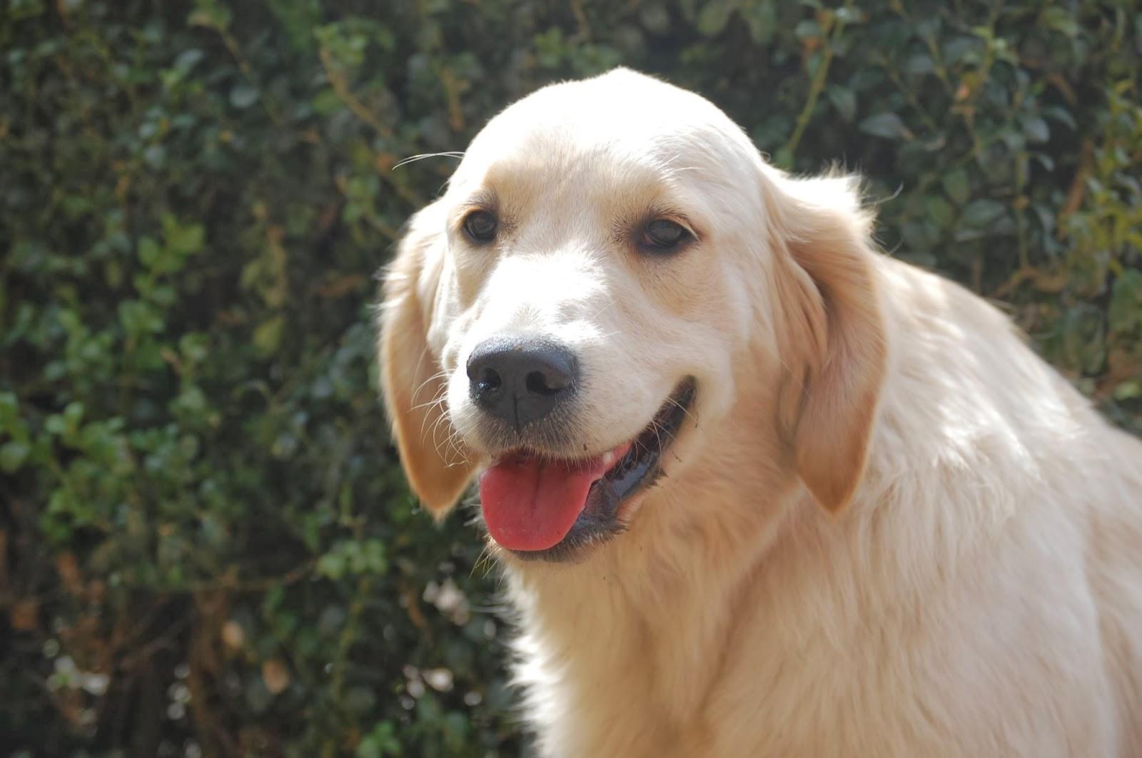 golden retriever, perdue, begique, chien perdudisparue, thullies, le roeulx, belgique, couleur creme, recompense, alex maigney