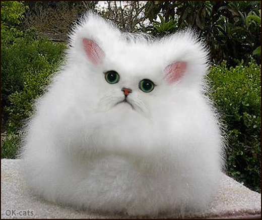 CAT-nipulation • Fluffiest Chinchilla Cabbit ever. Check out an amazing new cat breed: cat + rabbit.