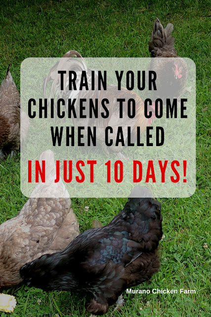 Train chickens to come when called