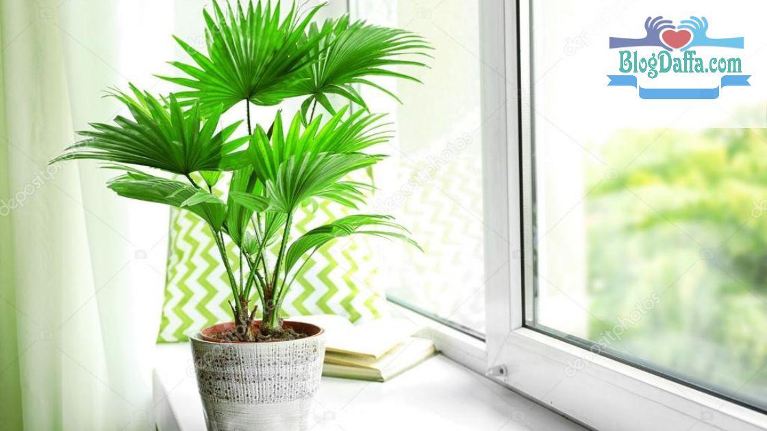 Palm tanaman pembawa keberuntungan