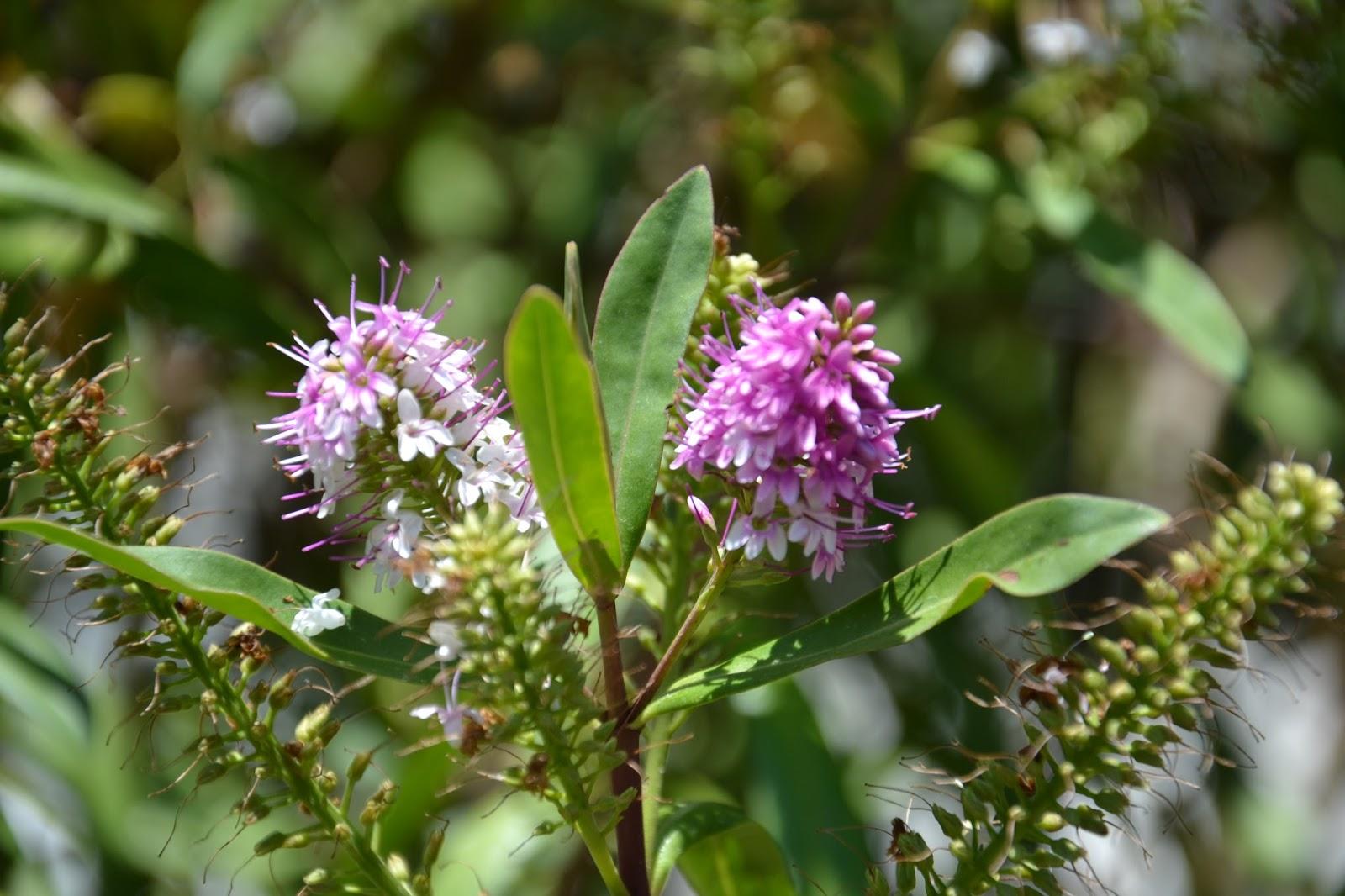 Sussurro das orqu deas hebe o arbusto das borboletas for Hebe arbusto