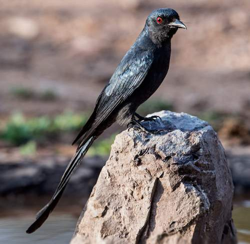 Indian birds - Image of Ashy drongo - Dicrurus leucophaeus