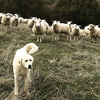 Earning their keep: More on livestock guardian animals