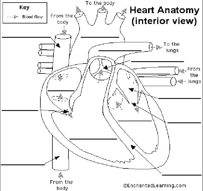mr slavich u0026 39 s science class  life science heart diagram worksheet