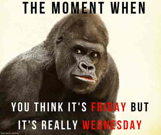 good morning wednesday monkey meme