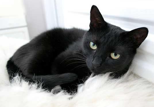 Mitos Kucing Hitam di Berbagai Belahan Dunia