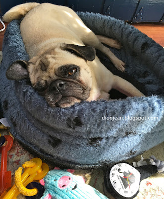 Liam the lazy pug in his bed