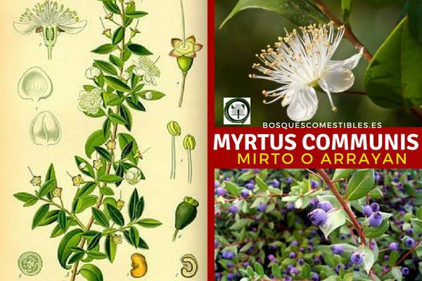 El Myrtus communises, Mirto, planta utilizada para la creación de setos para jardines.