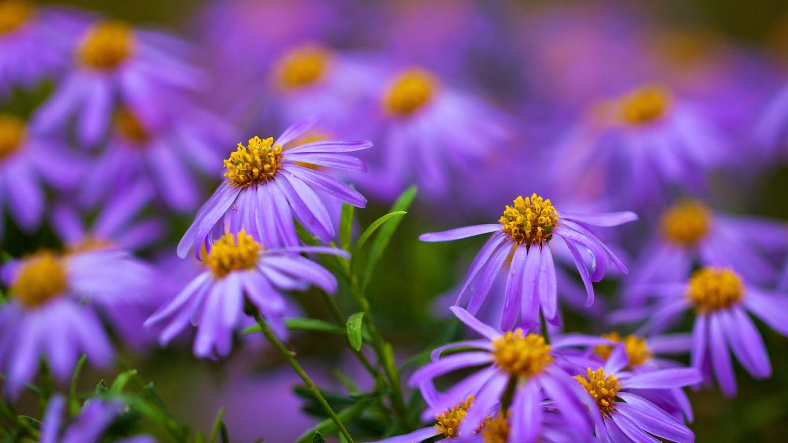 10 Gambar Bunga Warna Purple/Ungu/Violet