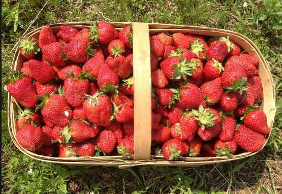 cara merawat tanaman strawberry agar cepat berbuah banyak