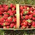Cara Merawat Strowberry Agar Cepat Berbuah Banyak dan Lebat