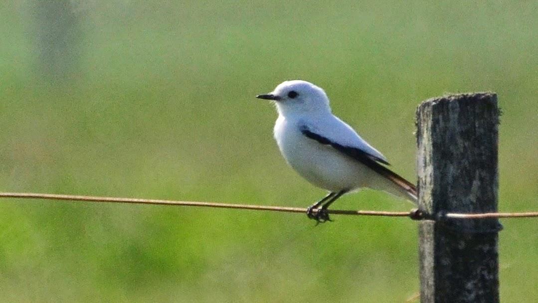 Aves De La Floresta: Viudita Blanca