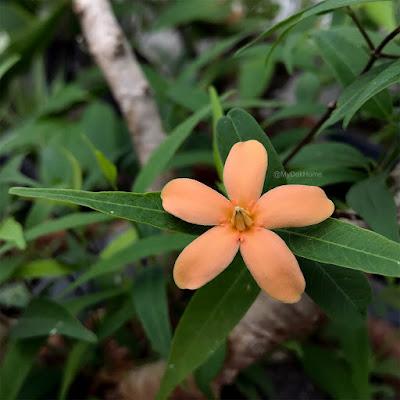 ดอกโมกเขา (โมกราชินีดอกส้ม) โมกเฉพาะถิ่นของไทย ดอกหอมอ่อน