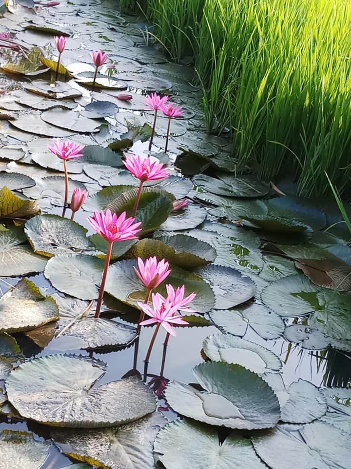WW : Keindahan bunga teratai di tepian bendang