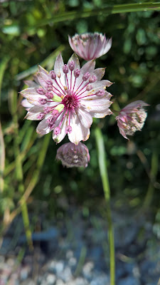 Astrantia major – Great Masterwort (Astranzia maggiore).