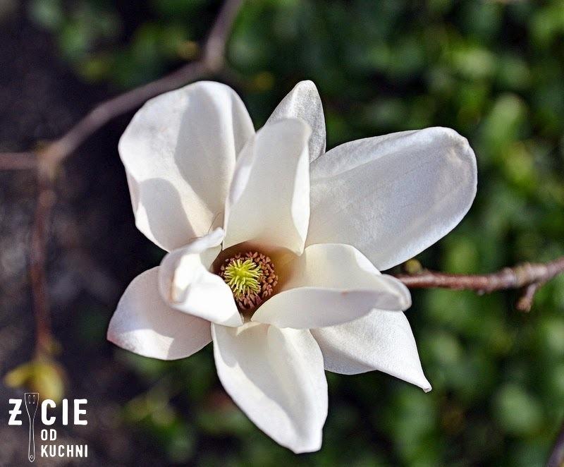 magnolia, ogrod, spacer, rozkwitaj na wiosne, wiosna, piekna na wiosne, jarmuz, ananas, maslanka,otreby, kiwi, zielony, koktajl, smoothie, kosmetyki, makijaż,