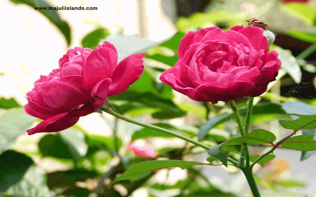 Rose Majuli Island